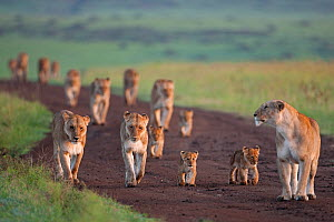 African Lionesses (Panthera leo) with their cubs aged 3-6 months walking along a track, Masai Mara National Reserve, Kenya. February  -  Anup Shah