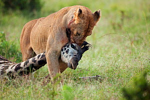 African Lioness (Panthera leo) dragging the carcass of a giraffe she has just killed, Masai Mara National Reserve, Kenya. February - Anup Shah