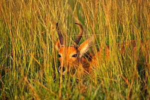 Bohor Reedbuck (Redunca redunca) peering through grass, Masai Mara National Reserve, Kenya. February  -  Anup Shah