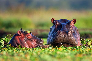 Hippopotamus female and calf (Hippopotamus amphibius) head portraits, submerged in lily covered pool, Masai Mara National Reserve, Kenya. February  -  Anup Shah