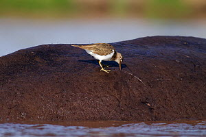 Common sandpiper (Actitis hypoleucos) searching for insects on the back of a Hippopotamus (Hippopotamus amphibius) Masai Mara National Reserve, Kenya. February  -  Anup Shah