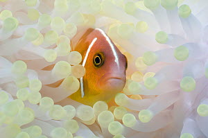 Pink anemonefish (Amphiprion perideraion) with anemone showing the effects of bleaching. The bleached anemone is almost white, whereas the unbleached anemone is brown due to the presence of symbiotic...  -  Georgette Douwma