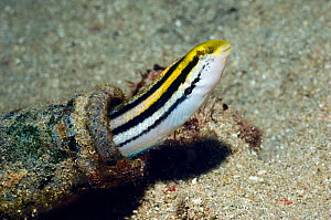 Striped poison-fang blenny mimic (Petroscirtes breviceps) mimic of Striped blennie (Meiacanthus grammistes), which possesses a pair of large grooved fangs in the lower jaw with associated venom glands... - Georgette Douwma