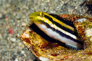 Striped poison-fang blenny mimic (Petroscirtes breviceps) mimic of Striped blennie (Meiacanthus grammistes) which possesses a pair of large grooved fangs in the lower jaw with associated venom glands.... - Georgette Douwma