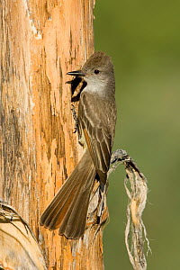 Ash-throated flycatcher (Myiarchus cinerascens) at its nest cavity entrance in an (Agave palmeri) stalk, Sonoran Desert, Arizona, USA. June  -  Visuals Unlimited