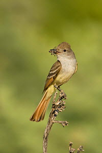 Ash-throated flycatcher (Myiarchus cinerascens) perched with insect prey in its bill, Arizona, USA. July  -  Visuals Unlimited