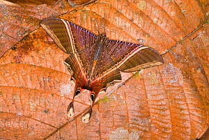 Moth (Nothus lunus) protectively coloured on a dead leaf. August - Visuals Unlimited