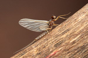 Mayfly sub-adult male (Paraleptophlebia)  -  Visuals Unlimited