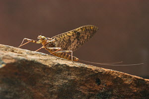 Mayfly sub-adult female (Maccaffertium vicarium).  -  Visuals Unlimited
