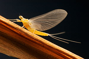 Mayfly sub-adult female (probably Ephemerella dorothea). June  -  Visuals Unlimited