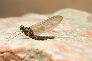 Mayfly sub-adult male (Siphlonurus typicus), Maine, USA. July  -  Visuals Unlimited