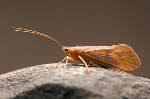 Caddisfly adult female (Pycnopsyche), 20 mm in length, August  -  Visuals Unlimited