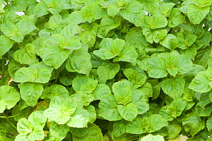 Apple Mint (Mentha rotundifolia) is a herb and is often used for making jelly or tea  -  Visuals Unlimited