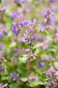 Catmint (Nepeta mussinii) - Visuals Unlimited