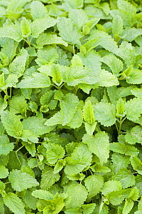 Lemon balm (Melissa officinalis) is used has a healing herb and flavoring for food. - Visuals Unlimited