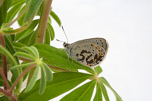 Female Karner Blue Butterfly (Lycaeides melissa samuelis) with identification  number on wing on Lupine - Visuals Unlimited