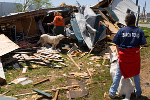 Dogs assist in search and rescue efforts after a strong tornado in Cactus, Texas, USA, April 2007  -  Visuals Unlimited