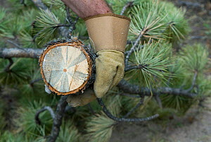 Spread by Mountain Pine Beetles, Blue Stain Fungus infects a young Ponderosa Pine tree near Rocky Mountain National Park in Colorado, USA, February 2010  -  Visuals Unlimited