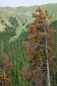 Pine tree killed by Blue Stain Fungus spread by the Mountain Pine Beetle on the Continental Divide of the Rocky Mountains in Colorado, USA, February 2010  -  Visuals Unlimited