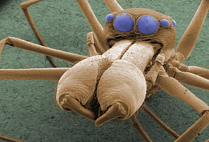 Spider face, showing jaws, fangs, and multiple eyes. ESEM  -  Visuals Unlimited