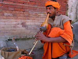 A snake charmer encourages a Cobra in a basket to dance by playing the flute on Old Durbar and Basantapur Square in Kathtmandu, Nepal. September 2008  -  Visuals Unlimited