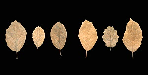 Six brown Coast Live Oak Tree (Quercus agrifolia) leaves with a variety of barbs on the edges, showing the veination of the underside.  -  Visuals Unlimited