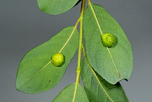 Pea-gall caused by the Sawfly (Pontania pedunculi) on the underside of willow leaf.  -  Nigel Cattlin