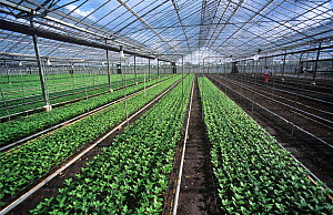 Large commercial glasshouse with beds containing young chrysanthemum plants for cut flowers, USA, January 2009  -  Nigel Cattlin