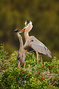 Great Blue Heron (Ardea herodias) feeding its young, Venice rookery, Florida, USA. February  -  Visuals Unlimited