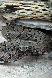 Gray-banded Kingsnake (Lampropeltis alterna) resting under rock, December - Visuals Unlimited