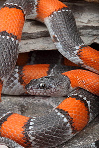 A brightly-patterned Gray-banded Kingsnake (Lampropeltis alterna), Terrell County, Texas, USA, January - Visuals Unlimited