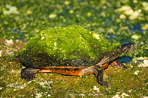 Florida Red-bellied Turtle (Pseudemys nelsoni) covered with moss in a swamp, Everglades, Florida, USA.  -  Visuals Unlimited