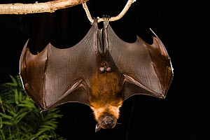 Indian Flying Fox (Pteropus giganteus) hanging upside down, India. captive  -  Visuals Unlimited
