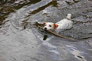 Jack Russell Terrier retrieving stick from water, UK - Ernie Janes