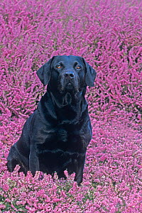 Black labrador amongst heather, UK - Ernie Janes