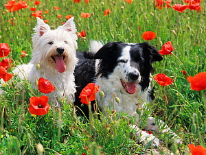 West Highland terrier and Border collie amongst Poppies, UK - Ernie Janes