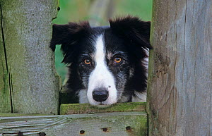 Border Collie, working dog looking through gate, Wales, UK - Ernie Janes