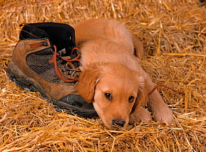 Golden retriever, puppy resting on straw with hiking boot  -  Ernie Janes