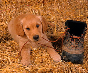 Golden retriever, puppy resting on straw chewing the laces of hiking boot  -  Ernie Janes