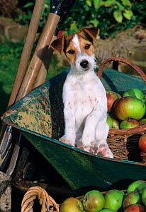 Jack russell terrier in wheelbarrow with apples, UK  -  Ernie Janes