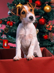 Jack russell terrier in box with Christmas tree  -  Ernie Janes