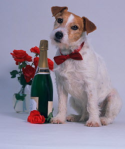 Jack russell terrier, studio portrait wearing red bow-tie with red roses and bottle of champagne - Ernie Janes