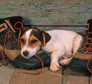 Jack russell terrier puppy resting on hiking boots  -  Ernie Janes