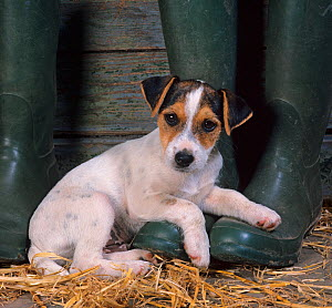 Jack russell terrier puppy resting on wellington boots  -  Ernie Janes