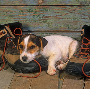 Jack russell terrier, puppy resting on hiking boot  -  Ernie Janes