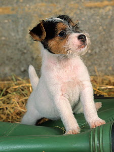 Jack russell terrier, puppy, portrait with wellington boot  -  Ernie Janes