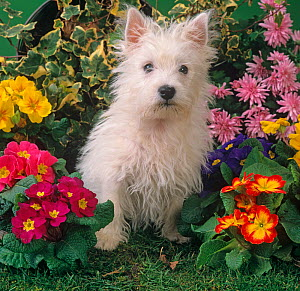 West highland terrier amongst cultivated garden flowers  -  Ernie Janes