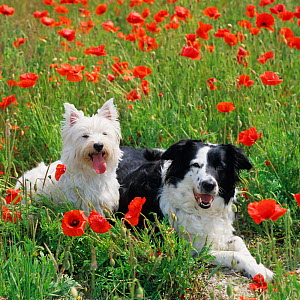 West highland terrier and border collie in field of poppy flowers, UK - Ernie Janes