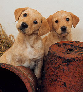 Yellow labrador, two puppies with flower pots - Ernie Janes