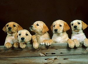 Yellow labrador, five puppies in a row  -  Ernie Janes